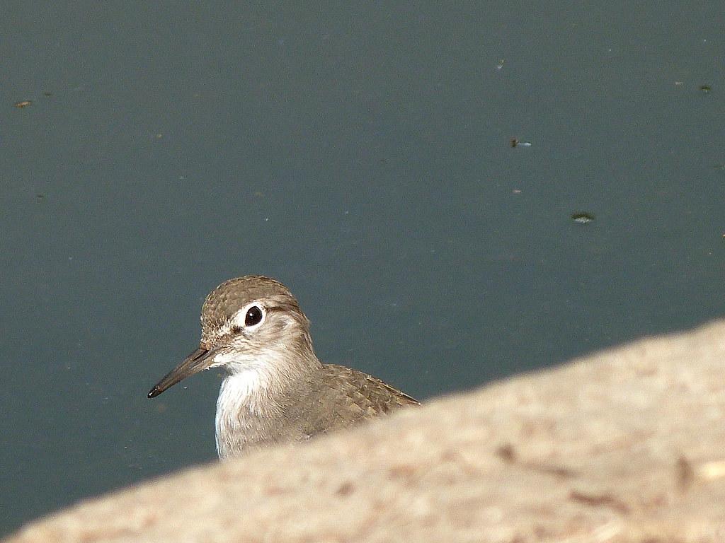22-10-2011-sandpiper-kookoo