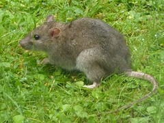 Brown Rat - Rattus norvegicus 1a