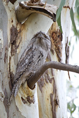IMG_6872 (lizardstomp) Tags: owls australianbirds tawnyfrogmouths
