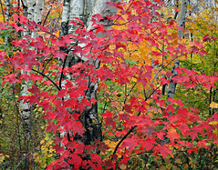 Into the Woods (Sandra Leidholdt) Tags: autumn trees canada color fall colors leaves forest maple woods quebec branches herbst herfst canadian foliage explore qubec birch  autunno autumnal outono serge redleaves saintnicolas canadienne lvis sonbahar efterr lautomne autunnale explored sandraleidholdt elotoo  coloresotoales sandyleidholdt