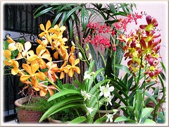 Newly purchased orchids for our garden, October 12 2011