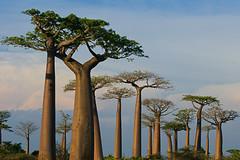 Baobab Alley, Morondava (peace-on-earth.org) Tags: africa alley avenue madagascar baobab morondava toliara peaceonearthorg