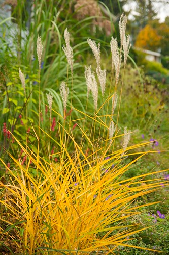miscanthus purparescens  904