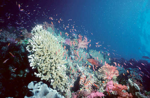 Coral reef, Pacific. Photo by Tom Nugent, 2008