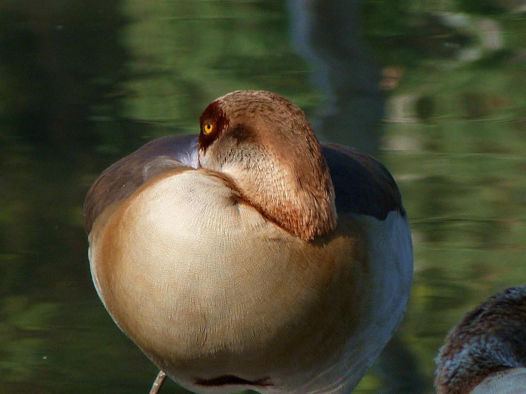 05-11-2011-duck