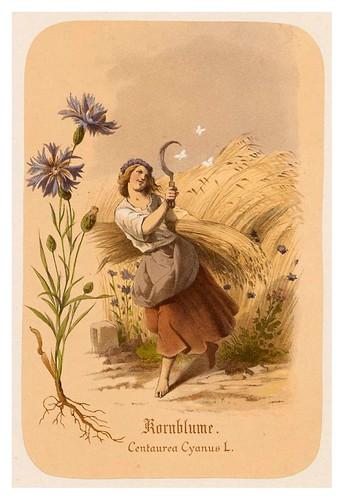 011-Aciano-Illustrirtes Kräuterbuch –Aquarelle- 1870-Adolf Schroedter