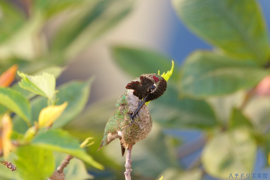 Anna's Hummingbird111111-3