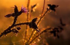 Honey Light. The Thistle, National Simbol of Scotland (Explored) (Jenny Rainbow) Tags: light plant nature scotland nikon thistle explore d300 explored scottishnature nikon1685mm jennyrainbowartphotography