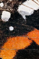 The Mask (kaibara87) Tags: red vanessa macro nature animal animals closeup butterfly insect pattern mask wing insects admiral 90mm atalanta extensiontubes macrosdenaturaleza