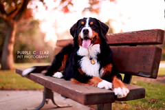Tana (anthonyhelton.com) Tags: dog mountain dogs mansbestfriend bernese canon50mmf14 5dii