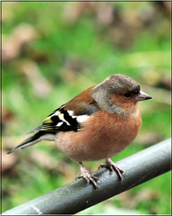 MALE CHAFFINCH (Shaun's Nature and Wildlife Images....) Tags: shaund