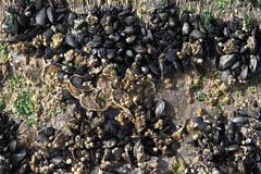 Blue Mussels and Eastern Oysters (sandy richard) Tags: longisland beaches wildwood wildwoodstatepark sandyrichard sandrarichard