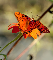 Shall we Dance? (Cathy Hennessy) Tags: florida mygarden zinnias buttterflies gulffritillaries cathyhennessy