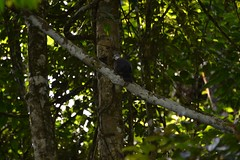 Unknown pigeon (Christophe Maerten) Tags: birds fauna landscape highlands flora pigeon vogels cloudforest habitat landschap duif nevelwoud malaysiathailand2011