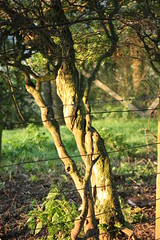 THE TWISTY TREE. (p16edy) Tags: autumn brown tree green nature rural fence scotland countryside farmland september barbedwire greenfield autumnal borders hawthorn hawick wirefence countryscene scottishborders roxburghshire twistedtree ruralscene denholm twistytree canoneos500d bbng