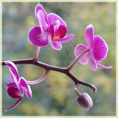 Orchids (Cajaflez) Tags: pink orchid flower texture bokeh ngc orchidee roze bloem knoppen nods 100commentgroup saariysqualitypictures doubleniceshot tripleniceshot mygearandme mygearandmepremium mygearandmebronze mygearandmesilver mygearandmegold mygearandmeplatinum mygearandmediamond ringexcellence artistoftheyearlevel2 musictomyeyeslevel1 aboveandbeyondlevel1 bbng