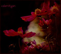dark light and other oxymorons (calamityjan2008) Tags: flowers light red yellow shadows bokeh soe contrasts cosmos darklight onblack wow2 wow4 wow5 darkflowers mygearandme mygearandmepremium pipexcellence onpartialblack artisticfloweres