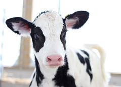 {Snowcone} (Farmgirl18) Tags: pink baby white black cute animal cow tail stretch spots calf bovine holstein