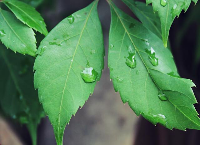 rainy grapevine