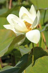 Parc Floral 032 (MUMU.09) Tags: photo foto lotus flor  bild blume fiore  imagem     flori       fiorediloto hoasen flordeloto  lotusblomma floweroflotus   lotosblume fleurdelotus     ltuszvirg kwiatlotosu  lotusblomst lotusblth lotusblm   lotosovkvt lotusiei mumu09