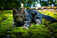Katt på svalt mosstak som klättrar ner by johanmede, on Flickr