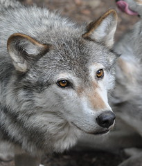 Canadian Timber Wolf - Canis lupus (Rob Lovesey) Tags: life park wild wolf timber wildlife canadian national lupus oxfordshire geographic burford cotswold canis