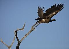 Vulture takes off (rowl images) Tags: bird wildlife safari botswana vulture whitebackedvulture savuti savutimarsh gypsafricanus letaka letakanorthernhighlightstour