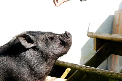 meet Piggie!