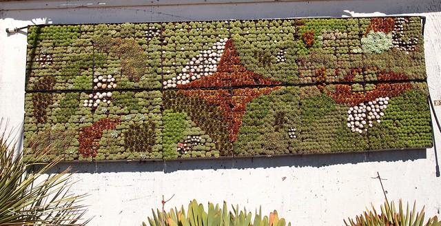 Succulent muriel