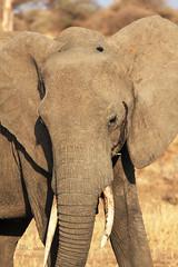 Dumbo has grown up (..illi..) Tags: africa park parco elephant tanzania safari tarangire elefante zanne savana elefanti tarangirenationalpark proboscide pachiderma