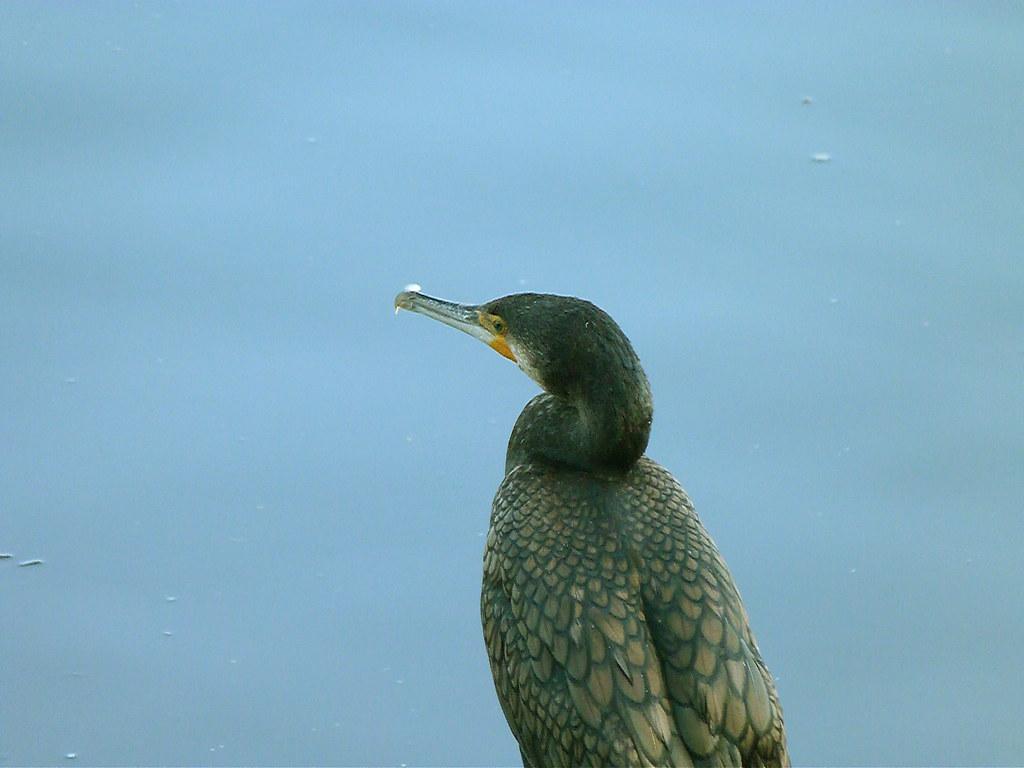 04-10-2011-cormorant