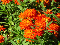 Orange Flowers (moodymusick) Tags: flowers nature canon sx30 sx30is