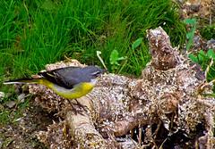 ALPISPA O LAVANDERA CASCADEA, Subespecie Canaria (Motacilla cinerea canariensis), (Jesus de Blas) Tags: naturaleza nature birds canon aves pajaros 1001nights alpispa flickraward 1001nightsmagiccity