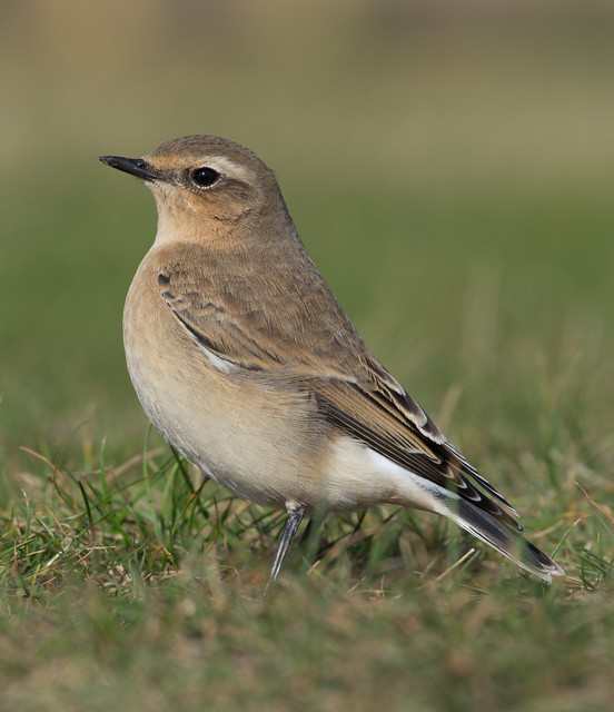 wheatear afternoon 300mm 3