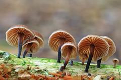 """""""Micromphale foetidum"""" (carlespoveda) Tags: macro mushroom bosque seta hongo micromphalefoetidum"""