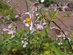 Anemone hupehensis, Herbstanemone (julia_HalleFotoFan) Tags: anemone windrschen herbstanemone anemonehupehensis