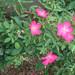 ロージ カーペット(Rosy Carpet)