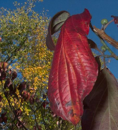 Dogwood leaf, 10-25-11 CRW_9790-1
