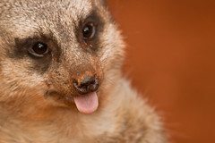 This is what I think about working on a Saturday! (vzonabaxter) Tags: chicago animal tongue canon zoo illinois meerkat lincolnparkzoo lincolnpark vzonabaxter