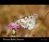 Parnassius apollo f. hispanicus