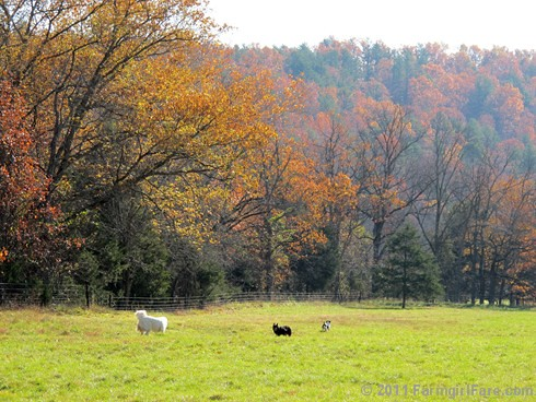Rounding up the sheep surrounded by autumn color 2 - FarmgirlFare.com