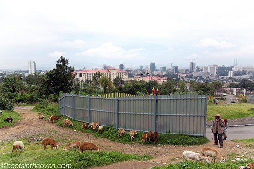 Herding Livestock, Central Addis Ababa