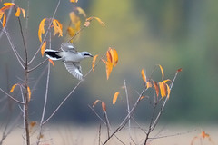 Northern Shrike DSC_7296 by Mully410 * Images