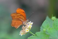 Schmetterling 32 (hellboy2503) Tags: orange flower nature canon butterfly germany natur butterflies blumen images 100mm gelb 7d getty blau falter makro bltter gettyimages jrg schmetterling nektar gettyimagescallforartists gettyimagesartistpicks hellboy2503