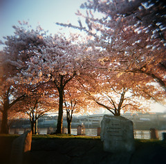 april, remembered (manyfires) Tags: pink film oregon sunrise portland holga spring memorial downtown poem cityscape toycamera thoughtful april pacificnorthwest sakura pdx canopy cherrytrees waterfrontpark tseliot thewasteland
