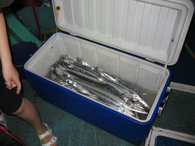 剛釣起的白帶魚閃耀著銀光。圖:蔡南益。