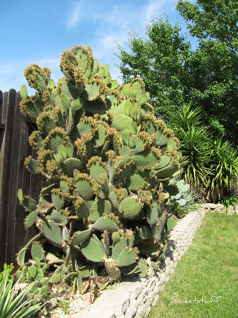 Opuntia In May