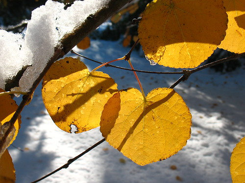 katsura leaves: Snowstorm of October 2011, New Jersey