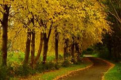 The Golden pathway (MoshersMoll) Tags: park autumn trees holland fall nature dutch leaves woodland season outdoors gold golden woods seasonal fallen nl autumnal vlaardingen zuidholland