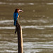 Kingfisher on the lookout #2